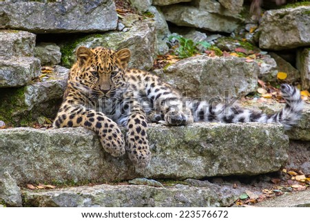 Amur leopard lying on the rock - stock photo