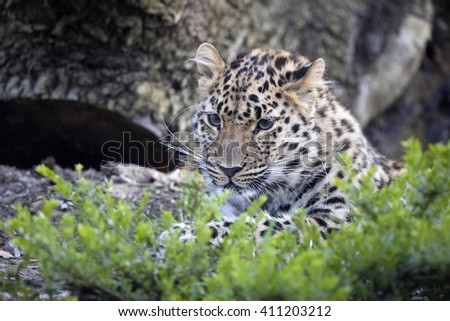 Amur Leopard, Panthera pardus orientalis, is probably the most beautifully colored leopard - stock photo