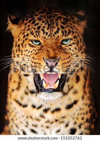 Amur Leopard portrait in nature - stock photo