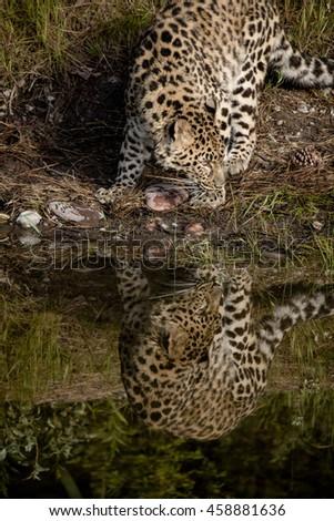 Amur leopard Reflection - stock photo
