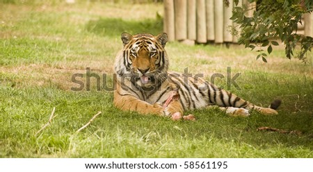 Amur Siberian Tiger in captivity