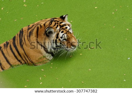 Amur tiger - Beautiful tiger in the bath on a hot day at the zoo - stock photo