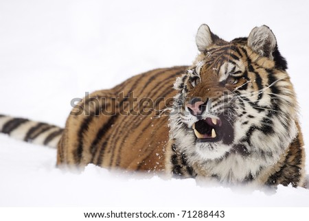 Amur Tiger in deep snow with fierce look on face - stock photo