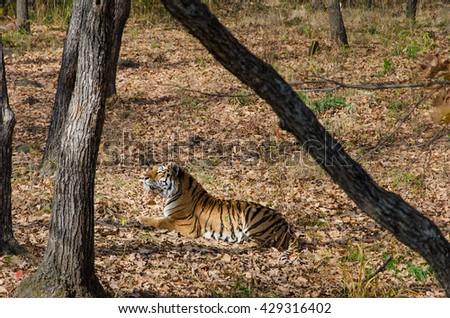 Amur tiger in safari park Vladivostok - stock photo