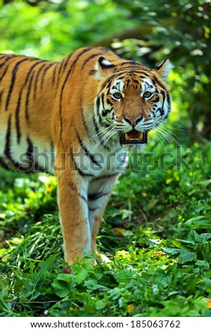 Amur Tiger in the natural conditions of nature