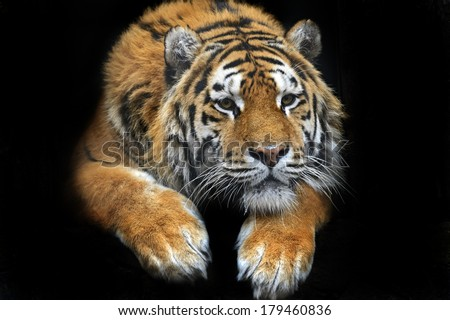 Amur Tiger in the summer - stock photo