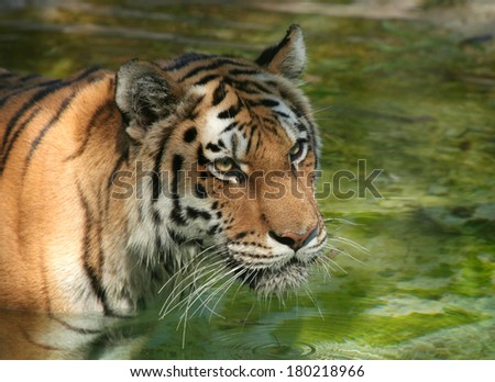 Amur Tiger in the water with reflections - stock photo