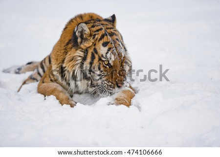 Amur tiger is sitting on icy floor. There are snowflakes on his body. Hearose feeling of strength.