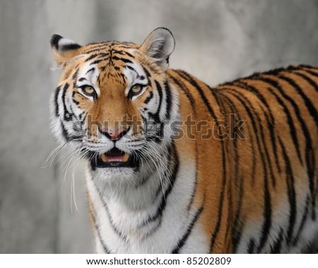 Amur tiger (Panthera tigris altaica) - stock photo