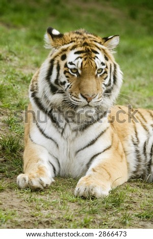 Amur Tiger (Panthera tigris altaica) looking to right of frame - portrait orientation