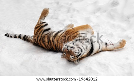 Amur Tiger (Panthera tigris altaica) Rolls in the Snow playing with twig - captive animal - stock photo