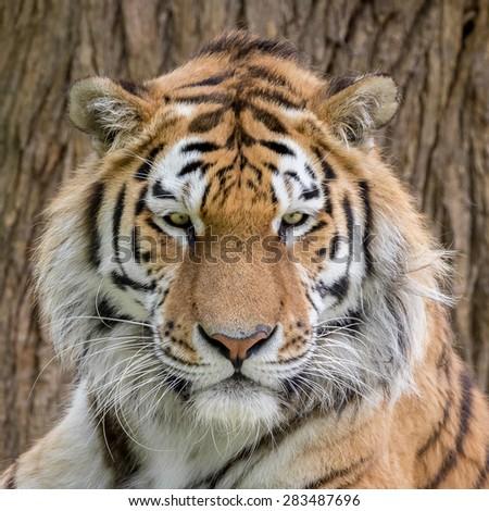 Amur Tiger, Panthera tigris ataica - stock photo