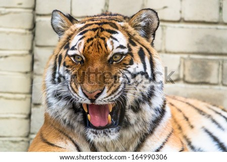 Amur tiger roaring closeup - stock photo