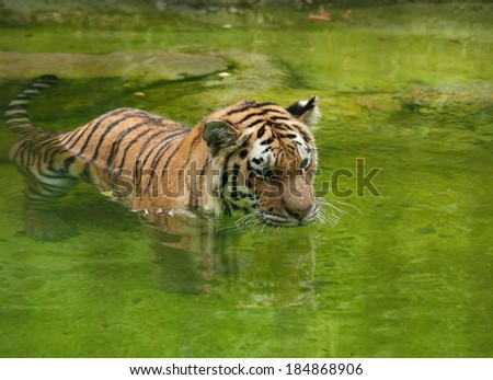 Amur Tiger swimming in the water - stock photo