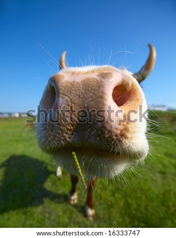 Amusing close-up cow's mug - stock photo