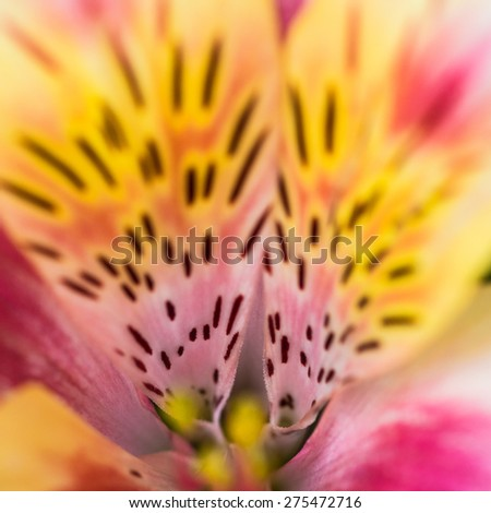 An abstract macro shot of the intense colours of a Peruvian lily bloom. - stock photo