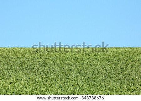 An abstract photo of wheat growing in a farmer's field against a clear blue sky.