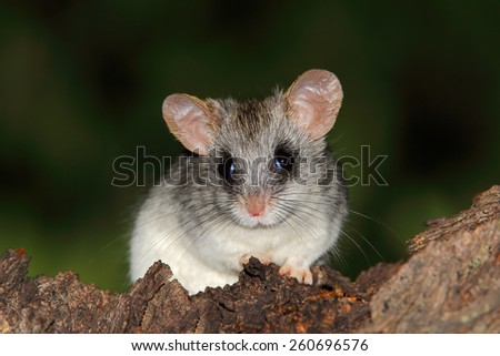 An Acacia tree rat (Thallomys paedulcus) sitting in a tree, South Africa - stock photo