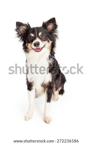 An adorable and very happy Chihuahua Mixed Breed Dog sitting.  Dog appears to be smiling while looking slightly off to the side.