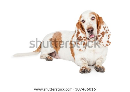 An adorable Basset Hound Dog laying with its mouth slightly open. - stock photo