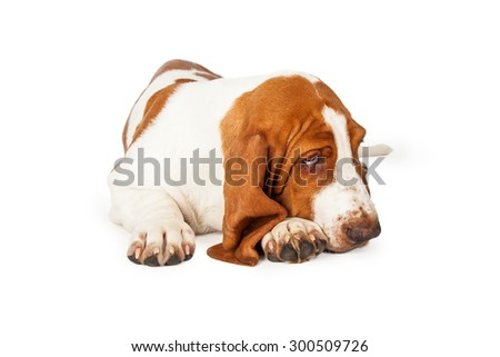 An adorable Basset Hound Dog looking very sleepy.  Dog is laying with its head on its front paws.  - stock photo