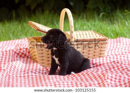Most Inspiring Labrador Black Adorable Dog - stock-photo-an-adorable-black-labrador-puppy-next-to-a-picnic-basket-103125155  Snapshot_696747  .jpg