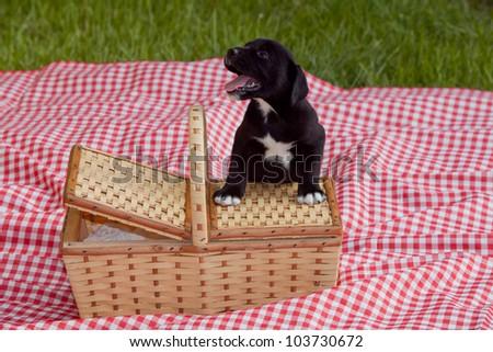 An adorable black labrador puppy next to a picnic basket. - stock photo