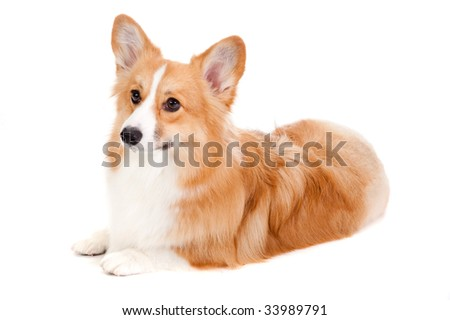 An adorable brown and white Corgi lying down obediently against a white background