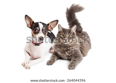 An adorable Chihuahua dog and a pretty gray color tabby cat laying together - stock photo
