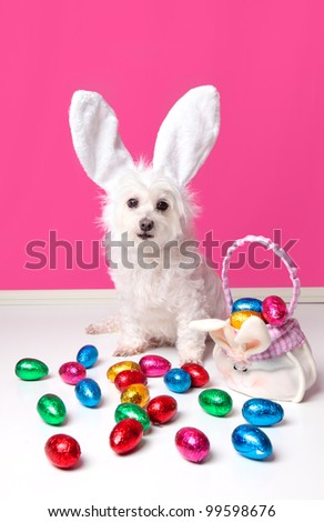 An adorable dog wearing bunny ears and surrounded by lots of colourful easter eggs. - stock photo