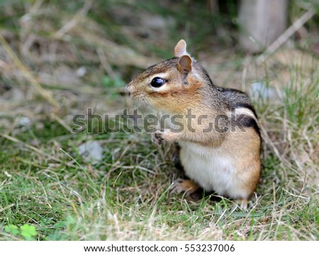An adorable female chipmunk outside of her burrow