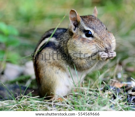 An adorable female chipmunk snacking on seeds