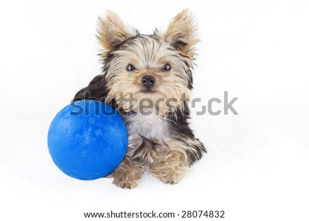 An adorable four month old Yorkshire Terrier puppy lying down with a blue toy ball isolated on white with a white background - stock photo