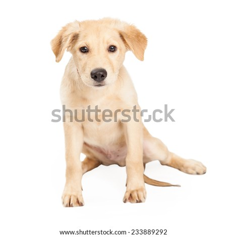 An adorable German Shepherd and Siberian Husky Mix Breed Puppy sitting and looking tired.  - stock photo