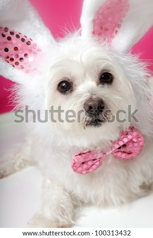 An adorable little dog with soft white fluffy fur, wearing sequin bunny ears and matching sequin bow tie.  Closeup. - stock photo