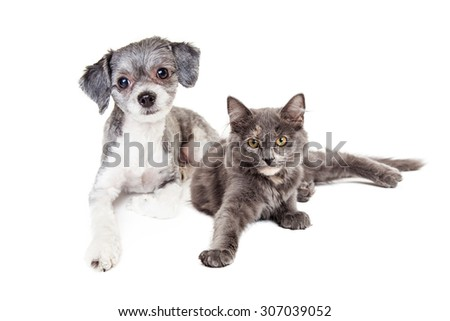 An adorable little Havanese mixed breed dog and a grey color cat laying down together - stock photo