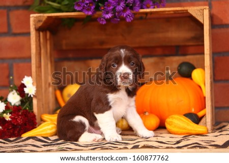 An adorable, liver and white colored Springer Spaniel sits in an Autumn themed still life. - stock photo