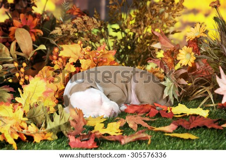 An adorable pitbull puppy napping on a lawn among colorful fall foliage.   - stock photo