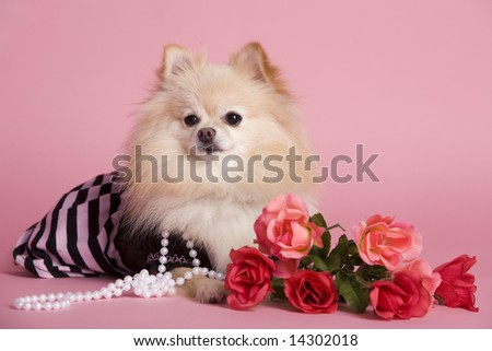 An adorable Pomeranian puppy dressed as a diva with pink roses and background.