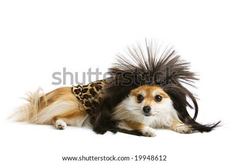 An adorable Pomeranian puppy in a caveman outfit. - stock photo