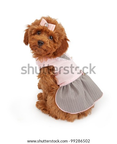 An adorable Poodle puppy wearing a pink dress white sitting against a white backdrop and looking over her shoulder - stock photo