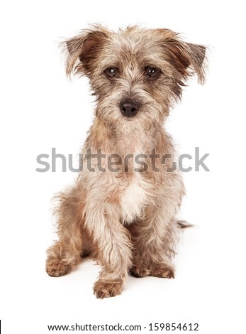 An adorable scruffy terrier crossbreed puppy sitting  - stock photo