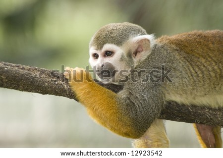 An adorable squirrel monkey lounges on a tree branch. - stock photo
