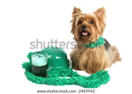 An adorable yorkie puppy dressed for St Patrick's Day and sitting beside a green bowler hat and green beer.  White background. - stock photo