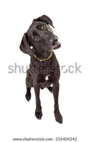 An adorable young Labrador Retriever dog with a black coat looking forward and tilting his head - stock photo
