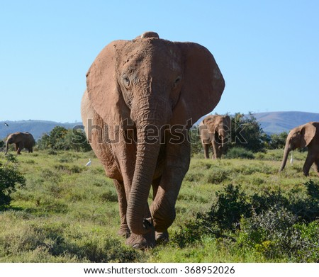An adult African Elephant heads straight toward us - stock photo