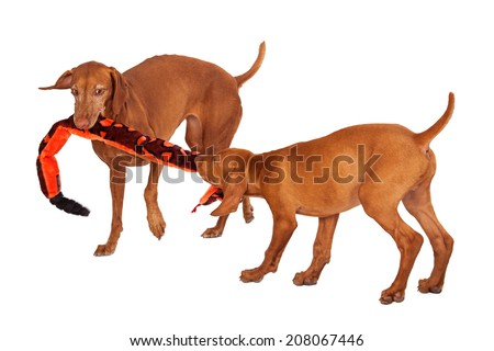 An adult and a puppy Vizsla breed dogs playing tug-o-war with a long snake stuffed toy