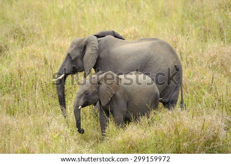 An adult and juvenile African Elephant drinking water (Loxodonta africana)  - stock photo