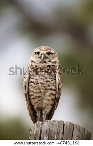 An adult burrowing owl standing on piece of wood