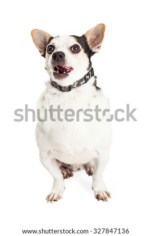 An adult Chihuahua mixed breed dog sitting on a white background and licking lips with tongue